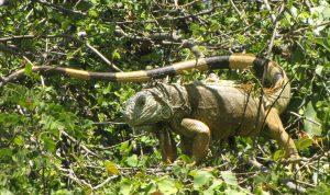 iguana 5S